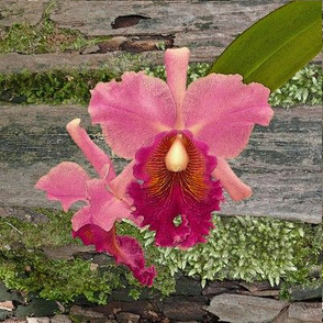 Pink_Cattleya_Orchid_on_Moss