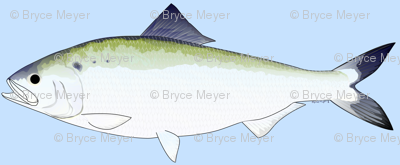American Shad in blue