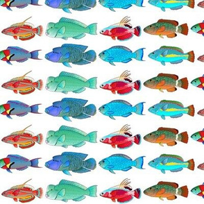 8 Tropical Indo-Pacific Wrasse and Parrotfish
