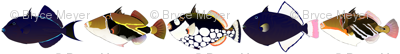 5 Tropical Pacific Triggerfish