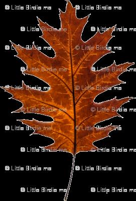Red Oak Leaf