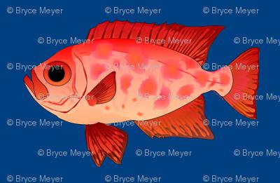 Glasseye Snapper Catalufa fish dk blue