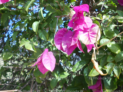 Pretty and Pink in the Tropics - Medium Scale  (Ref. 4535b)