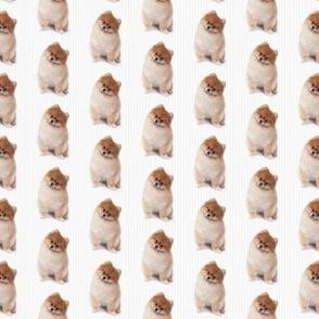 Pomeranian Stripe
