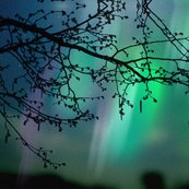 Rraurora_borealis_tree_branch_shop_thumb