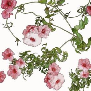 Pandorea jasminoides Clusters rosey brick plasticwrap on l  f1efe2