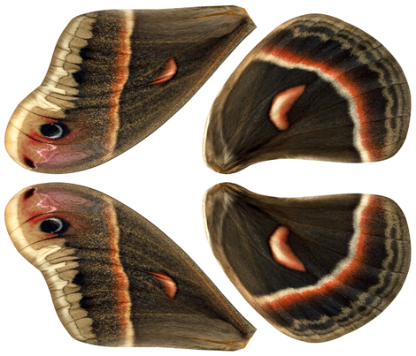 Oversized Cecropia Moth Wings fabric by lovelylepidoptera on Spoonflower - custom fabric