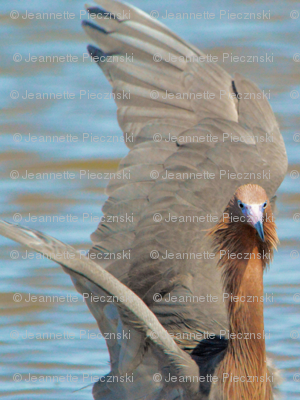 Fishing Reddish Egret