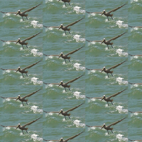 Sailing Brown Pelican