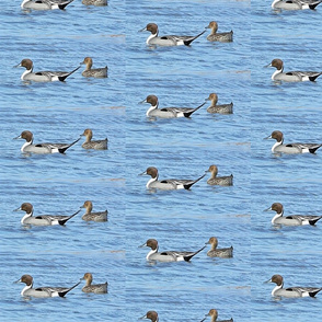 Northern Pintail Duck
