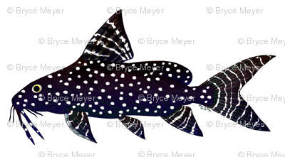 Angel Squeaker Upside-down Catfish