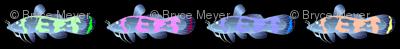 Psychedelic Madtom catfish