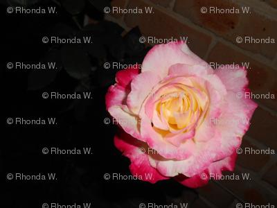 Evening Rose Blooms (Ref. 4905)