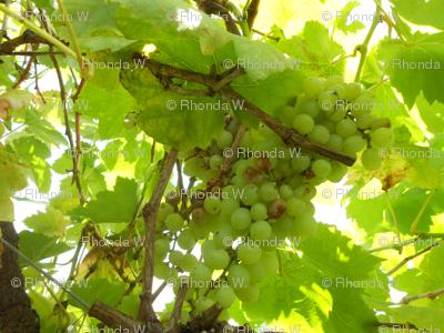 Sparkling Summer Sunlight on the Fruit of the Vine (Ref. 4922)