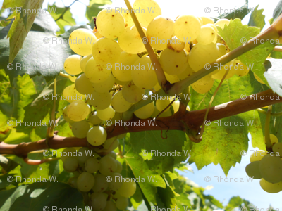 Golden Fruit on the Sun-Kissed Vine (Ref.4925)