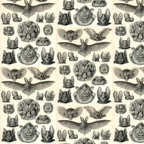 chiroptera Haeckel