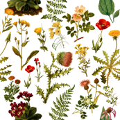 vintage botanical wildflowers