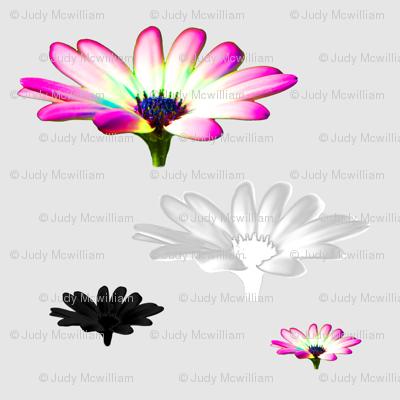 english_garden_happy cosmos_pink