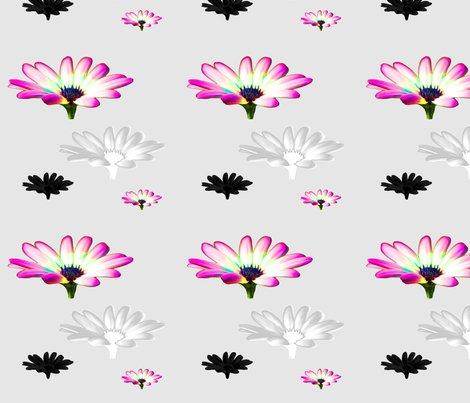 English_garden_cosmos_pink_shop_preview