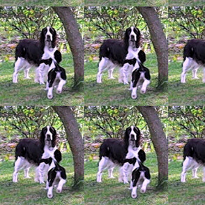 Springers_at_play-ed