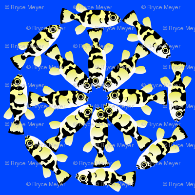 Freshwater Puffer fish cartwheels