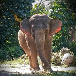 Pink ear elephant