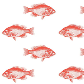 Red snapper reef fish nautical grouper ocean red fish