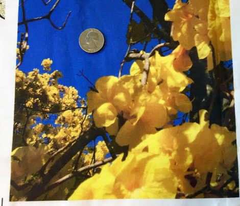 #SFDesignADay Photographic yellow flowering tree in Santa Paula, California, blue