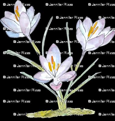 Spring_crocus_