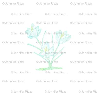 Spring_crocus_blue