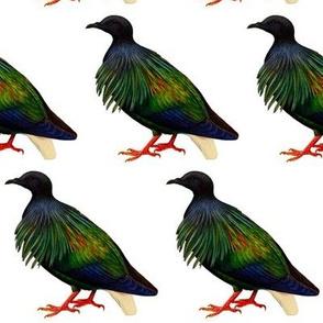 Nicobar pigeon 2