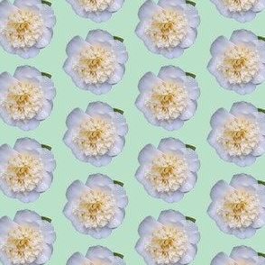 Camellia on green