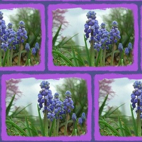 Muscari in the Spring
