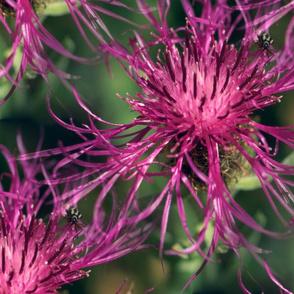 Fuchsia Thistles