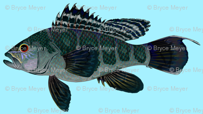 Black Sea Bass blue background