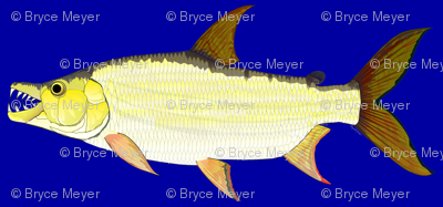 Giant Tigerfish blue background