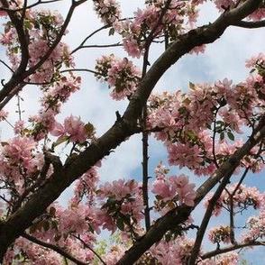 Mirrored Cherry Blossoms - Sakura