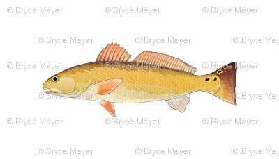 Redfish Red Drum w