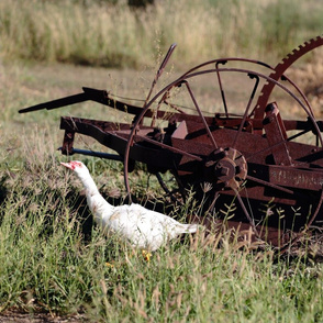 Muscovy Duck and Antique Farm Machine