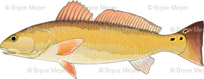 Redfish nose to tail