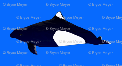 Dall's Porpoise in blue