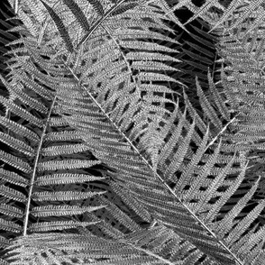 Asplenium ~ Black and White