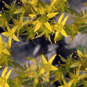 Yellow Starflowers