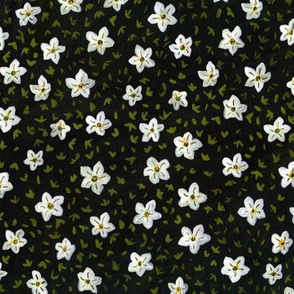 Saxifraga Florals