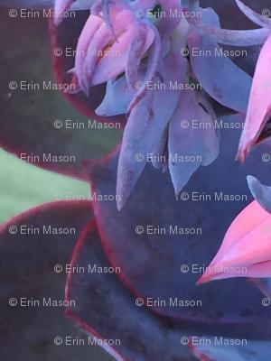 purple succulent dancer