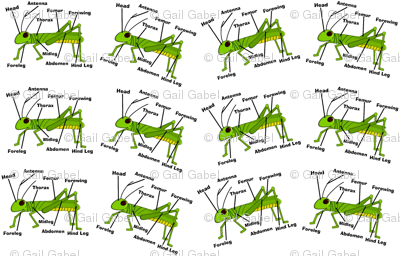 Grasshopper Anatomy