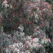 Rrwatercolour_silver__eucalyptus_sideroxylon___mugga_ironbark_pink_form_shop_thumb