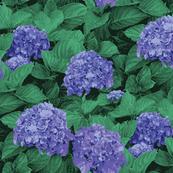 blue_hydrangea 25.5 x 18