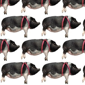 Mini Potbelly Pigs