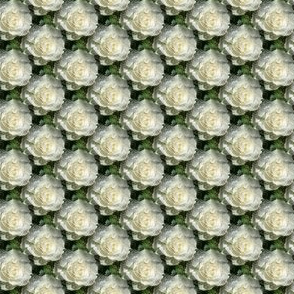 Iceberg Rose - small